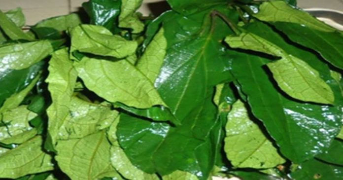 Experts say consumption of `Ugwu leaves' improves fertility